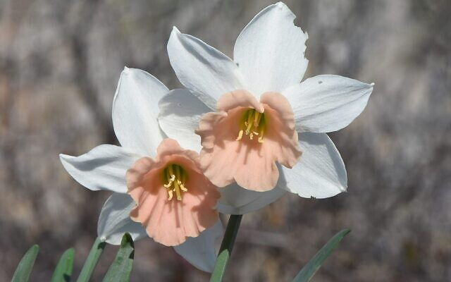 The pink-crowned Katie Heath narcissus is in bloom on February 14, 2021 at Jerusalem's Botanical Gardens (Courtesy Jerusalem Botanical Gardens)