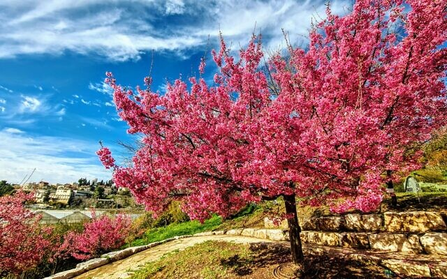 Sakura cherry blossoms in bloom at Jerusalem's Botanical Gardens (Courtesy Tom Amit)