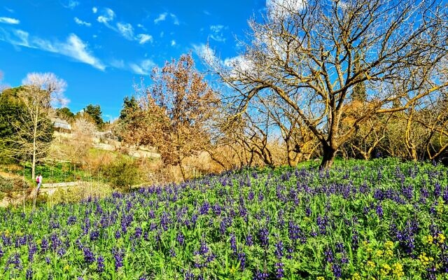 Lupines in bloom at Jerusalem's Botanical Gardens (Courtesy Tom Amit)