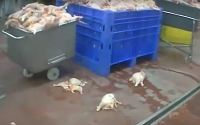 Chicken in crates and on the floor at the Off Hagalil poultry processor, in footage aired on February 2, 2020. (Screen capture: Channel 20)