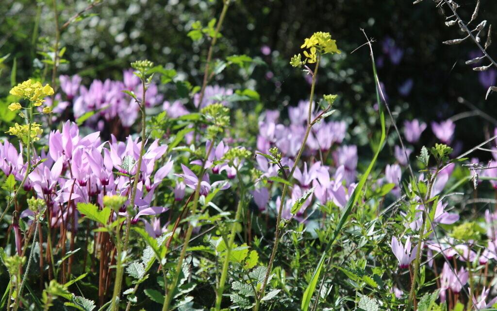 Cyclamen bloom at  KKL-JNF US Independence Park. (Shmuel Bar-Am)