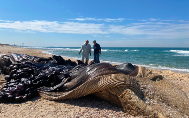 Author with Dr. Roni King, during autopsy of a young fin-whale washed up on Israel's contaminated Nitzanim beach. Sunday, Feb. 21, 2021 (Courtesy)