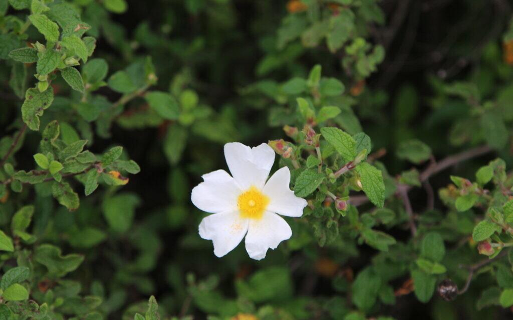 A white rockrose at KKL-JNF US Independence Park. (Shmuel Bar-Am)