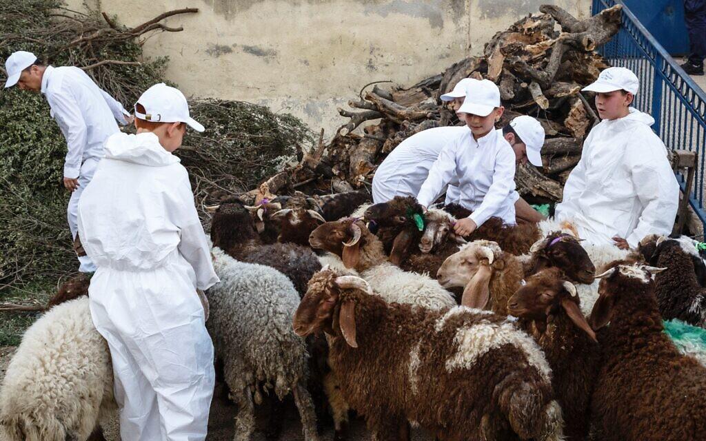 Samaritan boys with sheep at Passover celebration at Mt. Gerizim, Palestinian territories, April 2016. (Yadid Levy)