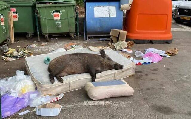 A wild boar taking a nap on a mattress in Haifa (via Twitter)