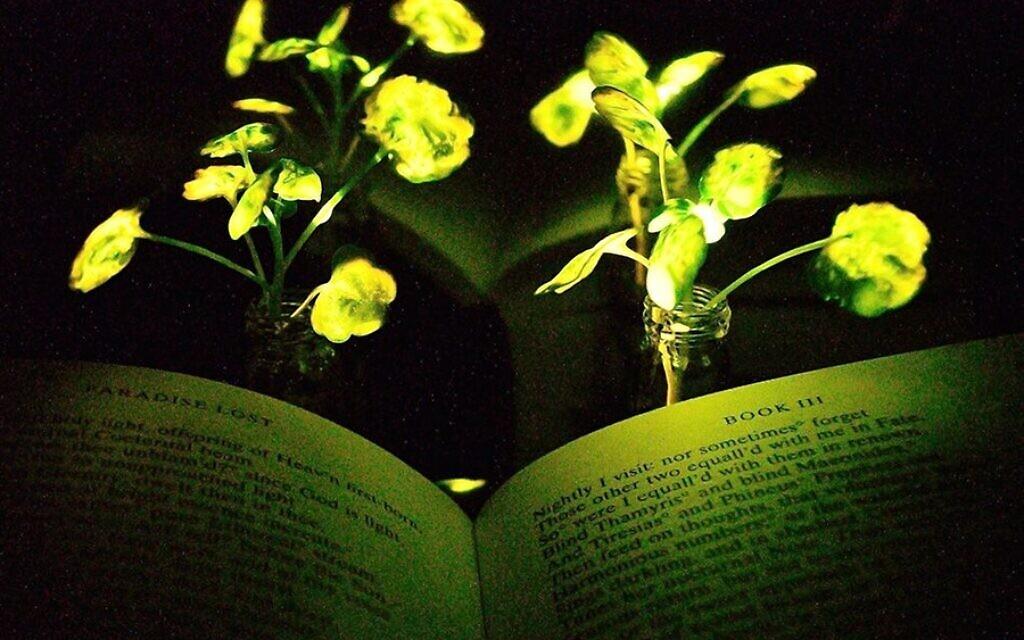 A light emitting watercress. (Seon-Yeong Kwak/MIT)