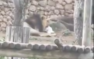 A lion eats a bunny at the Jerusalem Biblical Zoo in March 2021. (Screen capture/Twitter)