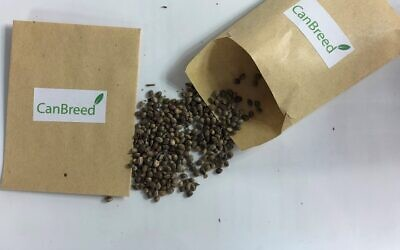 Cannabis seeds developed by CanBreed (Courtesy)