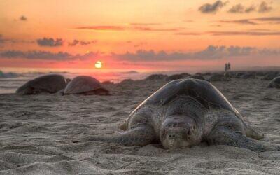 Olive ridley turtle nesting on Escobilla Beach, Oaxaca, Mexico. (Claudio Giovenzana www.longwalk.it, CC BY-SA 3.0, Wikimedia Commons)