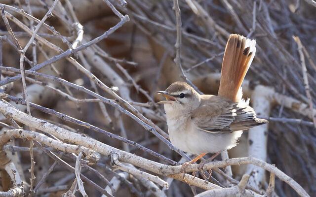 Rufous-tailed scrub-robin. (Yoav Perlman)