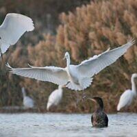 Great Egret at the International Birding and Research Center Eilat. (Noam Weiss, IBRCE).