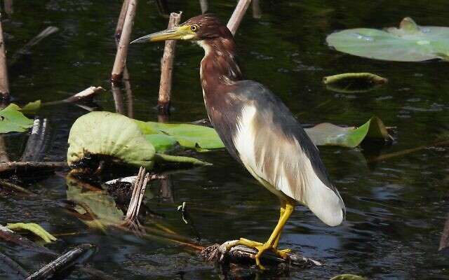 A Chinese pond heron observed in Israel for the first time, April 20, 2021, in Jerusalem's Botanical Garden. (Ori Fragman-Sapir/Jerusalem Botanical Garden)