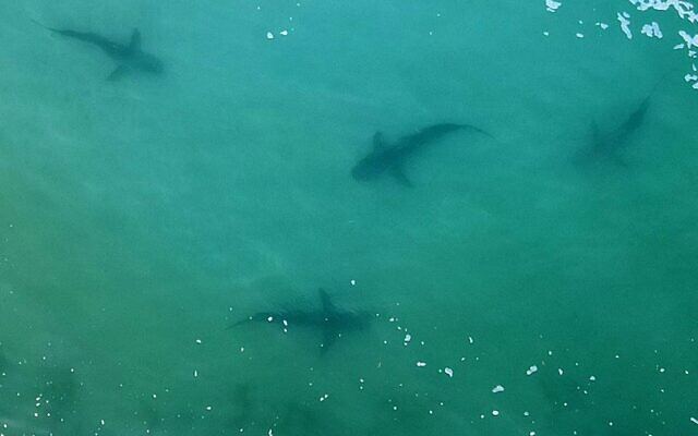An aerial view of sharks swimming in the shallow Mediterranean Sea water off the Israeli coastal town of Hadera, north of Tel Aviv. (JACK GUEZ / AFP)