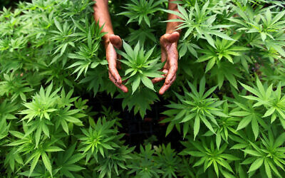Illustrative image: A worker tends to cannabis plants at a growing facility for the Tikun Olam company near the northern city of Safed August 31, 2010. (Abir Sultan/Flash 90)