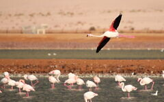 Greater flamingo at the International Birding and Research Center Eilat. (Noam Weiss, IBRCE)