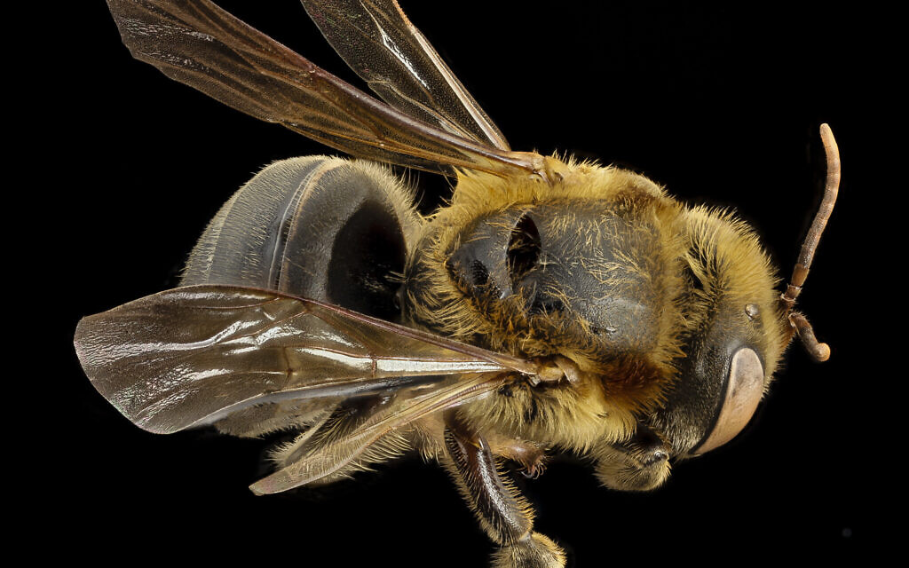 Member of the stingless Melipona species of honey bees. (Public domain via wikipedia)