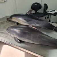 Two dead dolphins found on Israel's Mediterranean coast await autopsy at the Morris Kahn Center for Marine Research, April 6, 2021. (Dr Aviad Sheinin)
