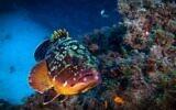 Dusty grouper. (Shabi Rotman)