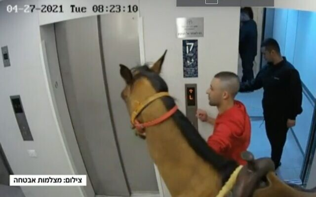 A horse is led into the elevator of a Tel Aviv apartment building, April 28, 2021 (Channel 12 screenshot)