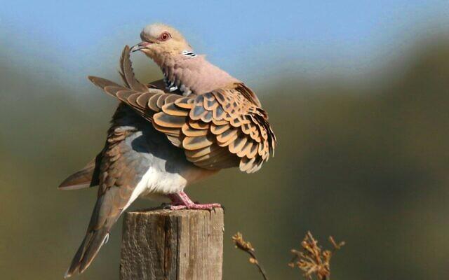 European turtledove. (Ehud Fast)