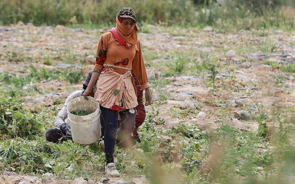 A Jordanian woman harvests green beans at a farm  in Ghor al-Haditha, around 80km south of the capital Amman, April 20, 2021. (Khalil MAZRAAWI / AFP)