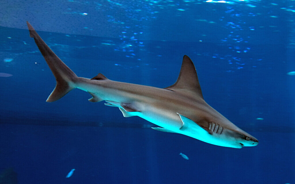 Sharks swimming in the shark aquarium in the southern Israeli city of Eilat. October 7, 2014. (FLASH90/File)