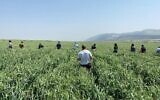 Hashomer Hachadash farm volunteers pick a field of wheat, as part of the SunDo app that matches farmers with volunteers (Courtesy Hashomer Hachadash)