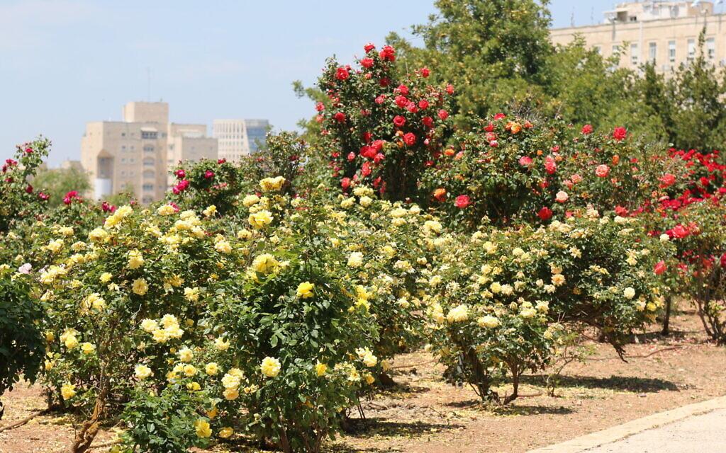 Allgold roses at the Wohl Rose Park in Jerusalem, April 2021. (Shmuel Bar-Am)