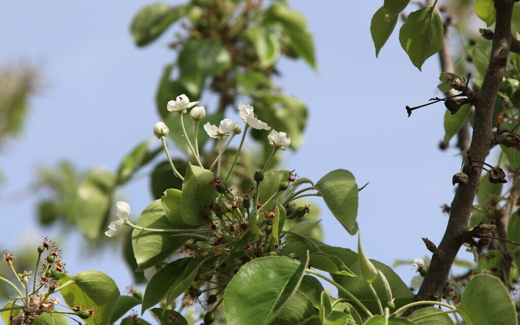 A Callery pear tree at the Wohl Rose Park in Jerusalem, April 2021. (Shmuel Bar-Am)