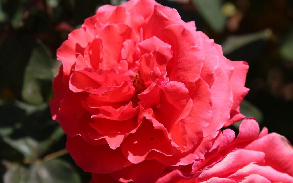 A flirting rose at the Wohl Rose Park in Jerusalem, April 2021. (Shmuel Bar-Am)
