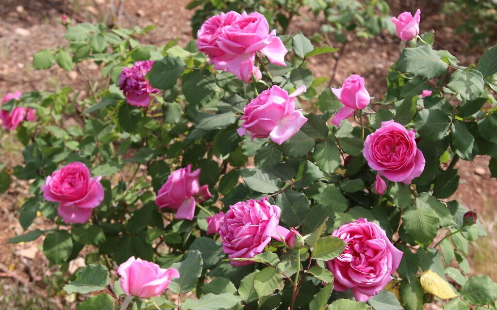 The Israela rose developed by Israeli mathematician Binyamin Amira, at the Wohl Rose Park in Jerusalem, April 2021. (Shmuel Bar-Am)