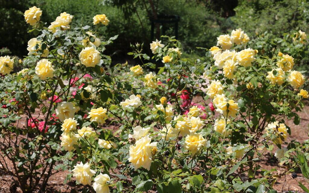 Ramat Gan roses at the Wohl Rose Park in Jerusalem, April 2021. (Shmuel Bar-Am)