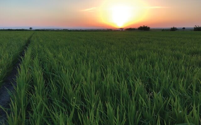 Drip-irrigated rice crops in Turkey. (Netafim)