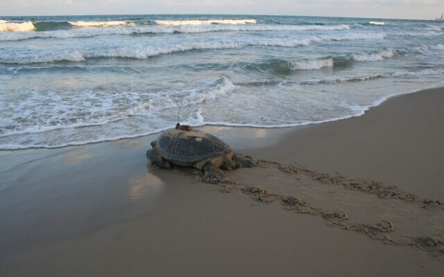 A female turtle fitted with a transmitter for research returns to the Mediterranean Sea. (Yaniv Levy, INPA)