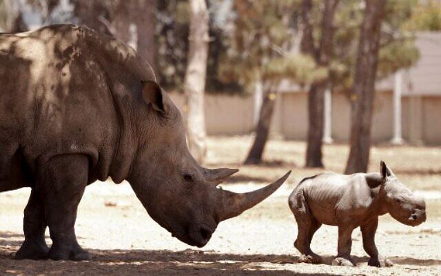 A newborn rhinoceros stands next to his 11-year-old mother Rihanna, at the Ramat Gan Safari, an open-air zoo near Tel Aviv, on June 6, 2021. (JACK GUEZ / AFP)
