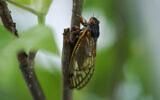 An adult cicada is seen, in Washington, Thursday, May 6, 2021. (AP Photo/Carolyn Kaster)