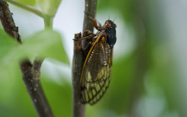 An adult cicada in Washington, May 6, 2021. (AP Photo/Carolyn Kaster)