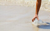 A woman touches a jellyfish at beach in Netanya on April 30, 2014. (Chen Leopold/Flash90)