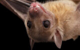 An Egyptian fruit bat (Seregraff via iStock by Getty Images)