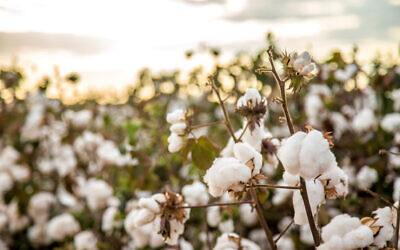 An illustrative image of a cotton field plantation (Mailson Pignata; iStock by Getty Images)