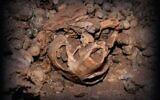 Skull of a maned rat found in the Judean Desert (via Haifa University)