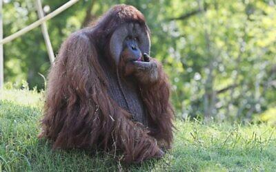 Illustrative: An orangutan at the Oklahoma City Zoo (AP Photo/Sue Ogrocki)