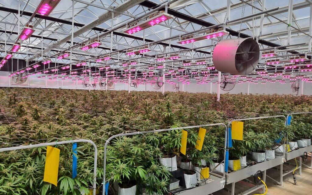 Medical-grade cannabis growing on tables in Israel. (Courtesy Israeli Medical Cannabis Agency)