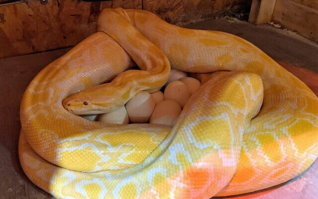 Shayna, a 12-foot albino Burmese python, with her recent batch of 38 eggs. (The Biblical Museum of Natural History via JTA)