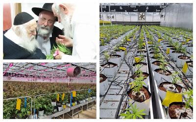 Illustrative: Rabbi Chaim Kanievsky smells cannabis leaves in 2016 (YouTube); Israeli medical cannabis growing operations. (Courtesy Israeli Medical Cannabis Agency)