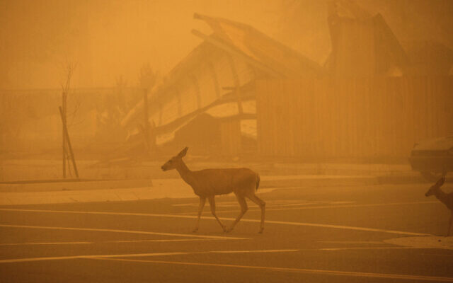 Deer pass a Greenville building destroyed by the Dixie Fire, on Aug. 7, 2021, in Plumas County, Calif. (AP Photo/Noah Berger)