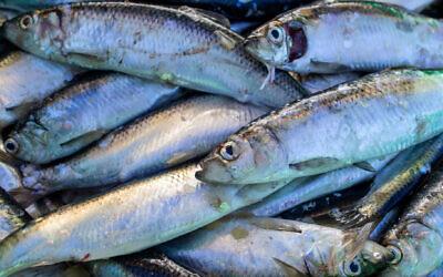 Freshly caught herrings lie in a fish box. (Jens Büttner via Getty Images)