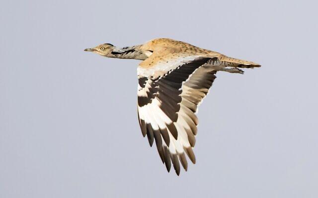 A houbara bustard in flight. (Shmulik Ya'ari, Israel Nature and Parks Authority)