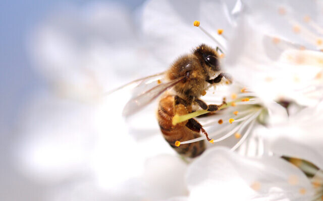 A honeybee on a wild flower. Illustrative. (Hayatikayhan on iStock by Getty Images)