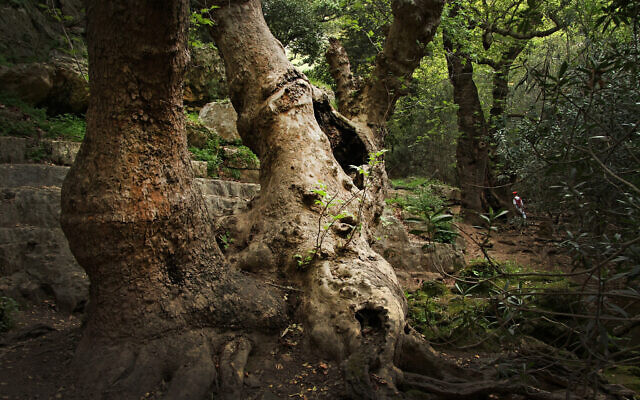 An ancient tree along the Betzet Stream in the Western Galilee, northern Israel. (CarmelH1, Wikimedia Commons, CC BY-SA 4.0)